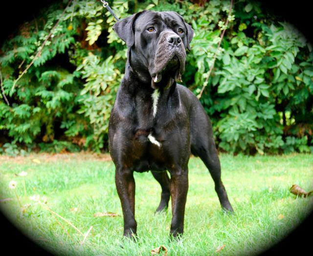 BETH Cane Corso female Essex 20594910