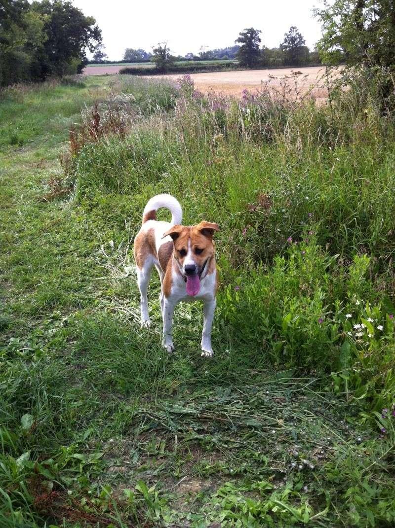 MARTHA Akita X rottweiler puppy Suffolk Photo_10