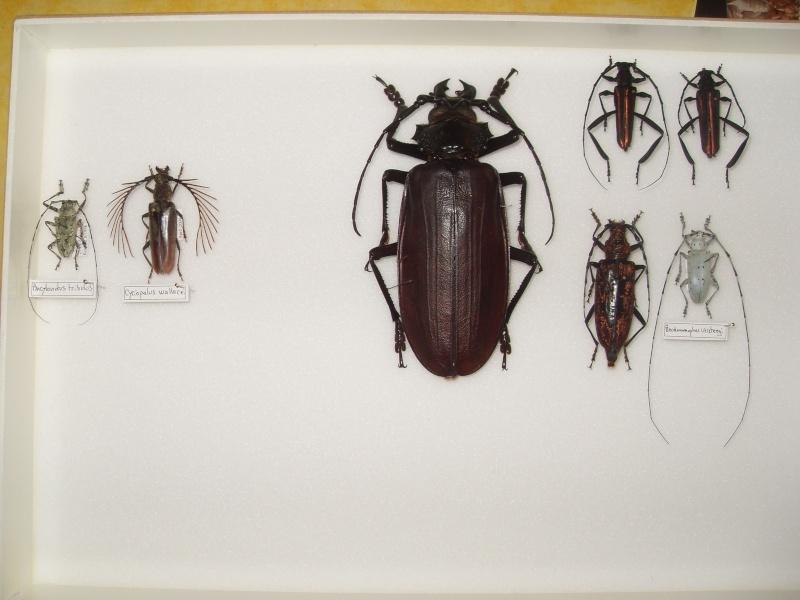 Présentation des collections Entomologiques - Page 2 Sdc16015
