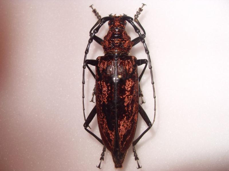 Présentation des collections Entomologiques - Page 2 Sdc16016