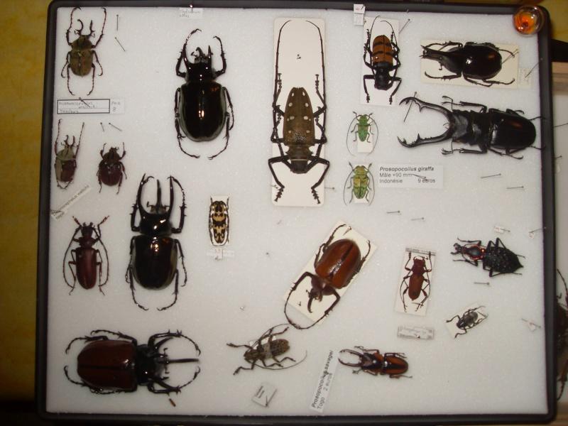 Présentation des collections Entomologiques - Page 2 Sdc16017