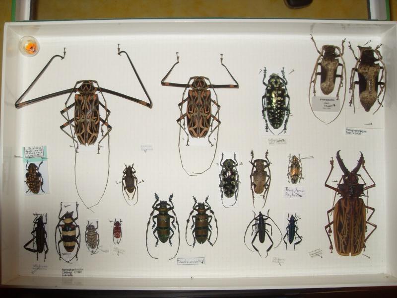 Présentation des collections Entomologiques - Page 2 Sdc16018