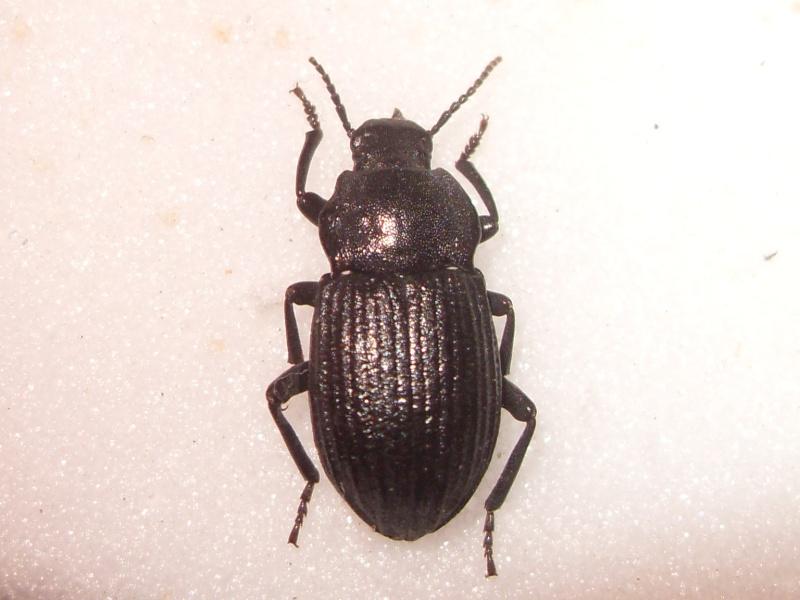 [Dendarus tristis] Tenebrionidae Corse 1 Sdc16022