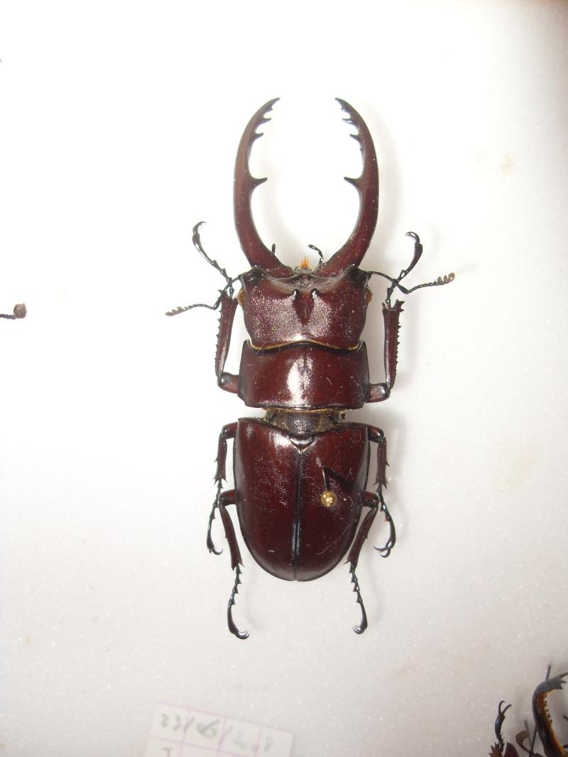 [P.(Metopodontus) astacoides] Lucanidae du Laos Sdc16111