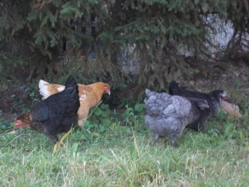 Votre avis sur mon installation et sur la race de mes poules 100_3312