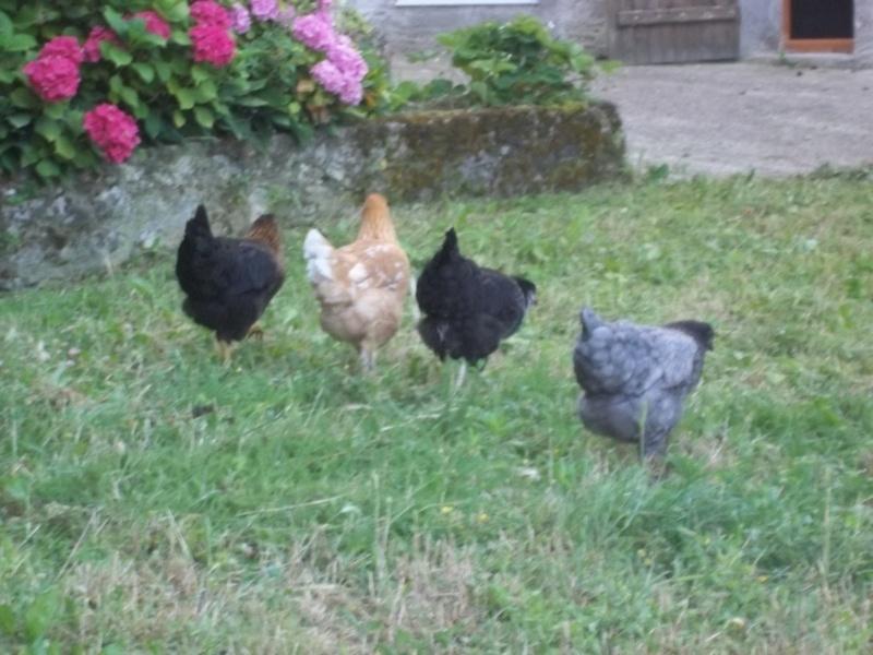 Votre avis sur mon installation et sur la race de mes poules 100_3313