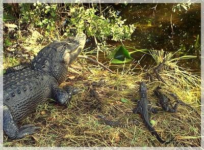 Gator Bait Mom_ga10