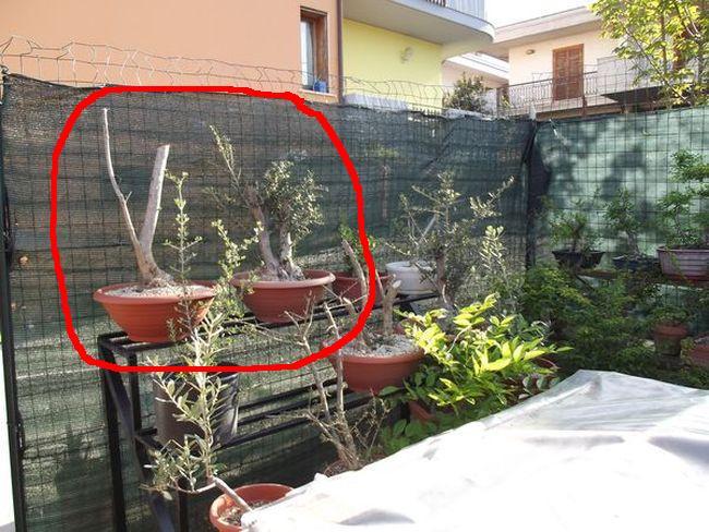 le mie piante (quasi) a posto! Olivo310