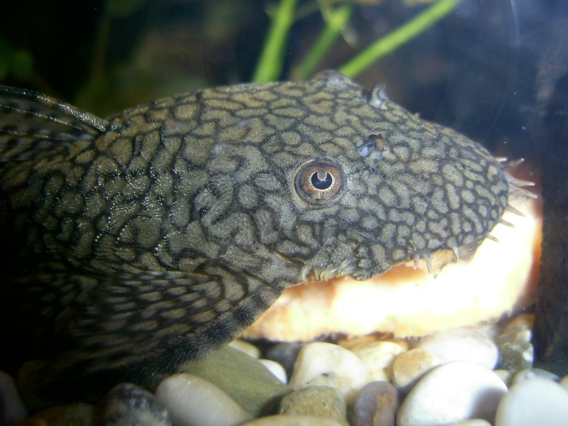 A few Bristlenose pictures Pic_0110