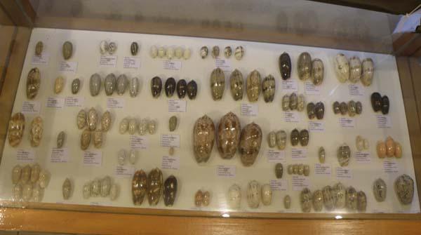 Musée du coquillage de Raiatea - Page 3 P1011735