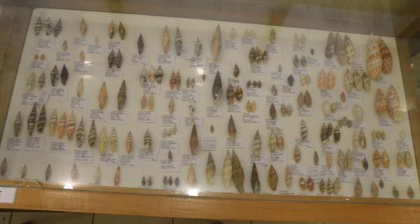 Musée du coquillage de Raiatea - Page 3 P1011739