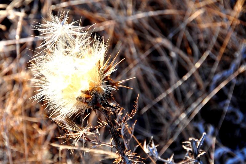 Cynara algarbiensis - cynara de l'Algarve 01911