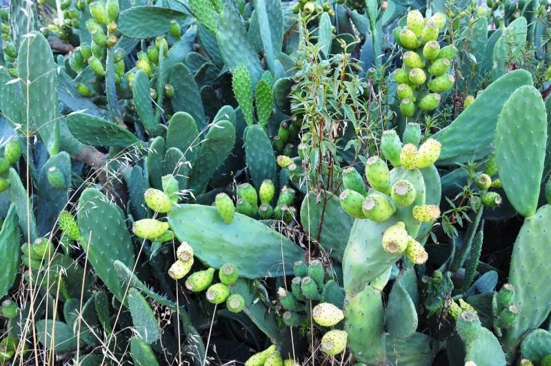 Opuntia ficus-indica  13110