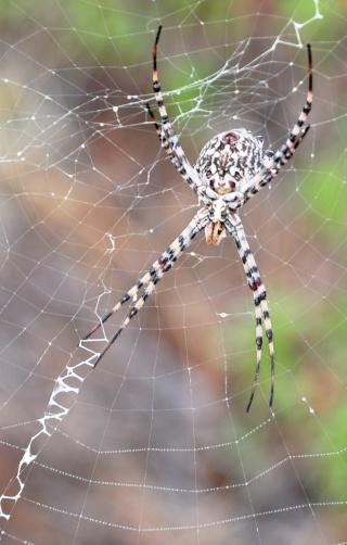 les 8 pattes - araignées et compagnie - Page 2 16411