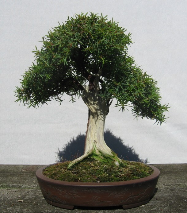 Common juniper Junipe10