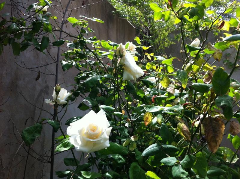 quelques rosiers parfumes Fleurs12