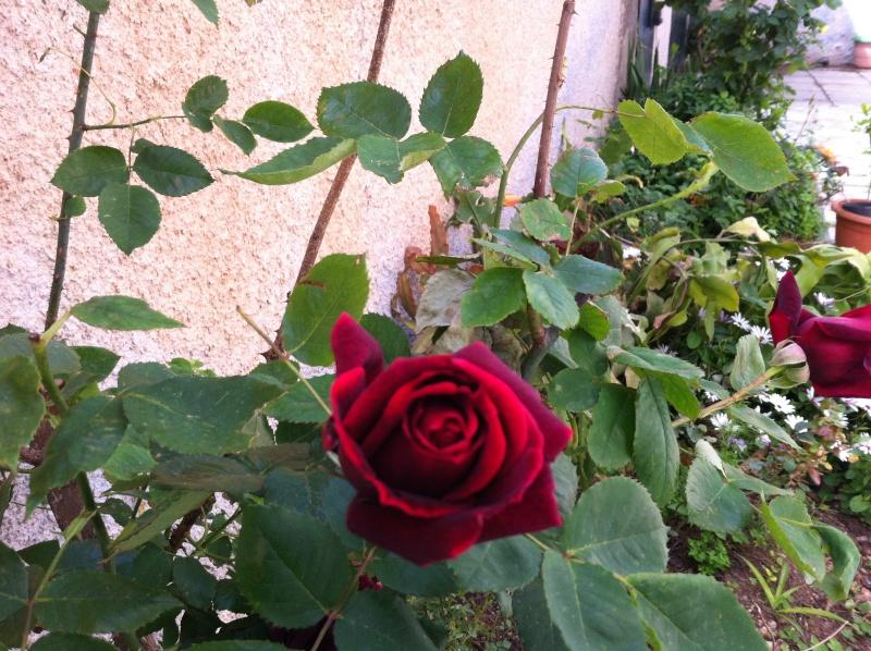 quelques rosiers parfumes Fleurs14