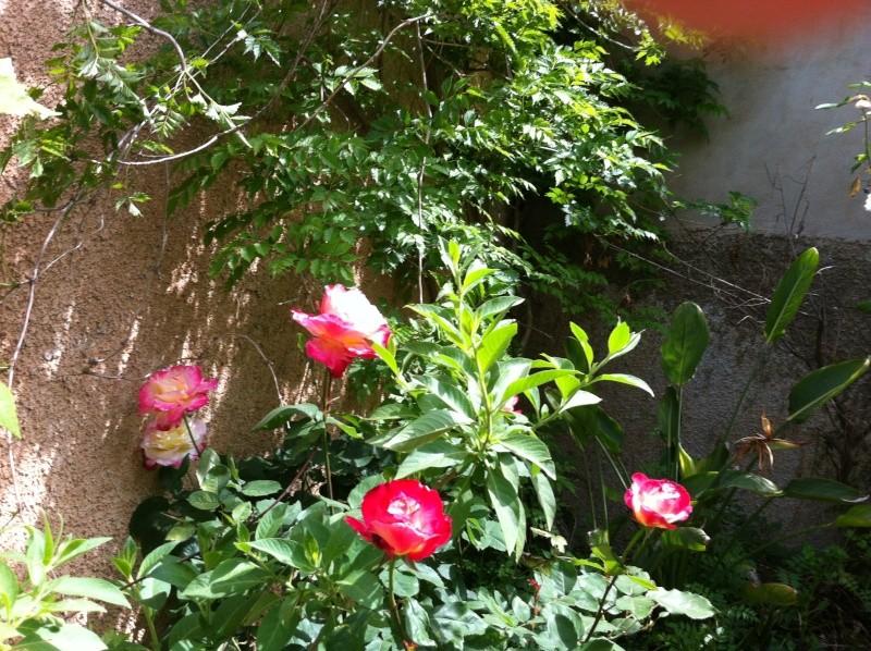 quelques rosiers parfumes Fleurs15