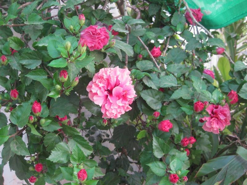 Un bouquet d'hibiscus Hoya_025