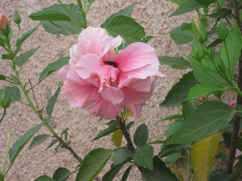 Un bouquet d'hibiscus Hoycle28