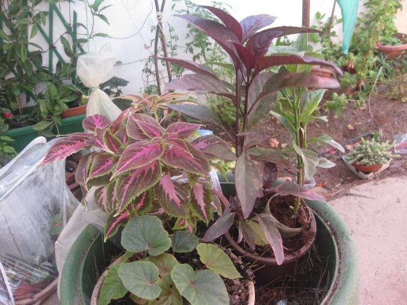 jardin en pot et a l ombre  Plante13