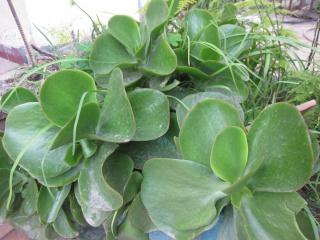 mes  succulentes Plante19