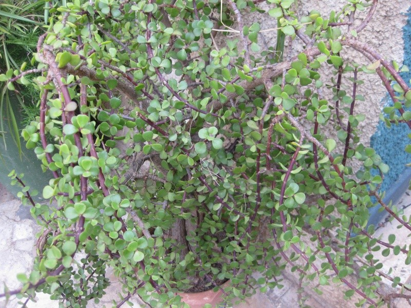 mes  succulentes Plante21