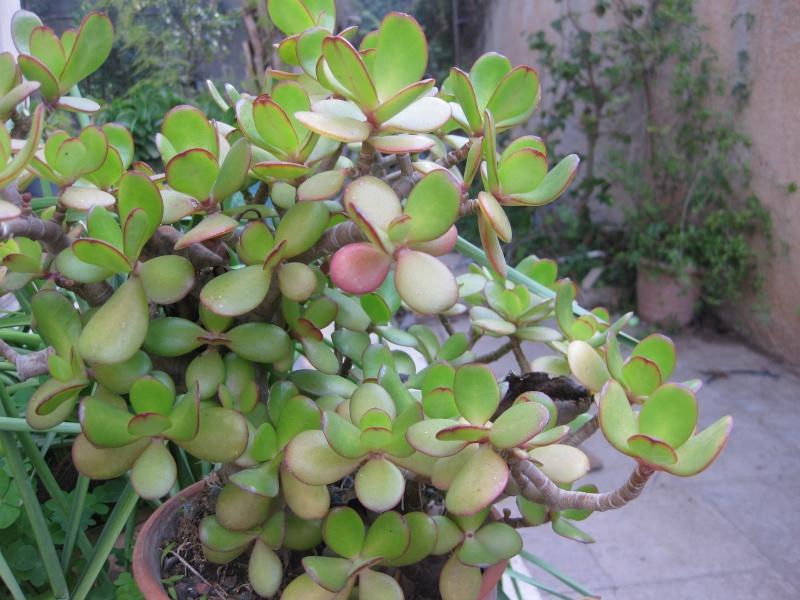 mes  succulentes Plante22