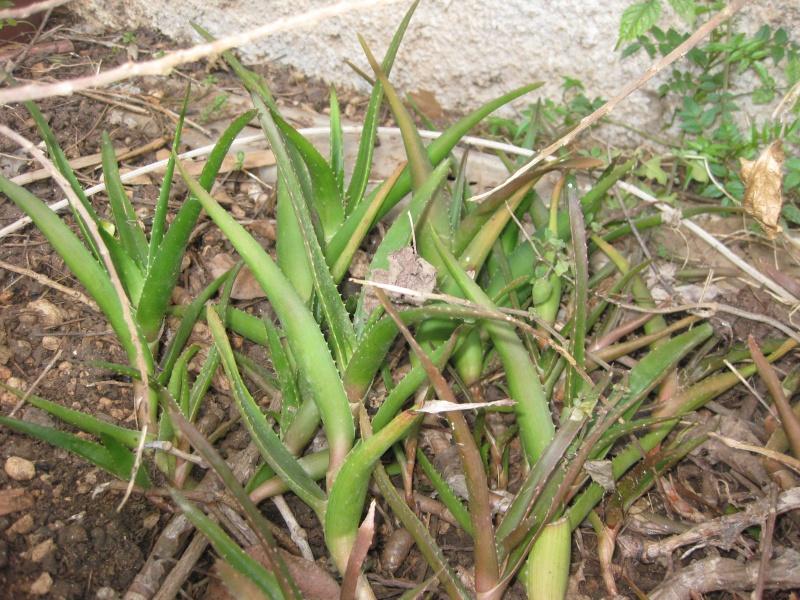 mes  succulentes Plante23