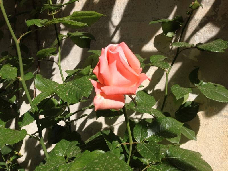 roses encore  Roses_10