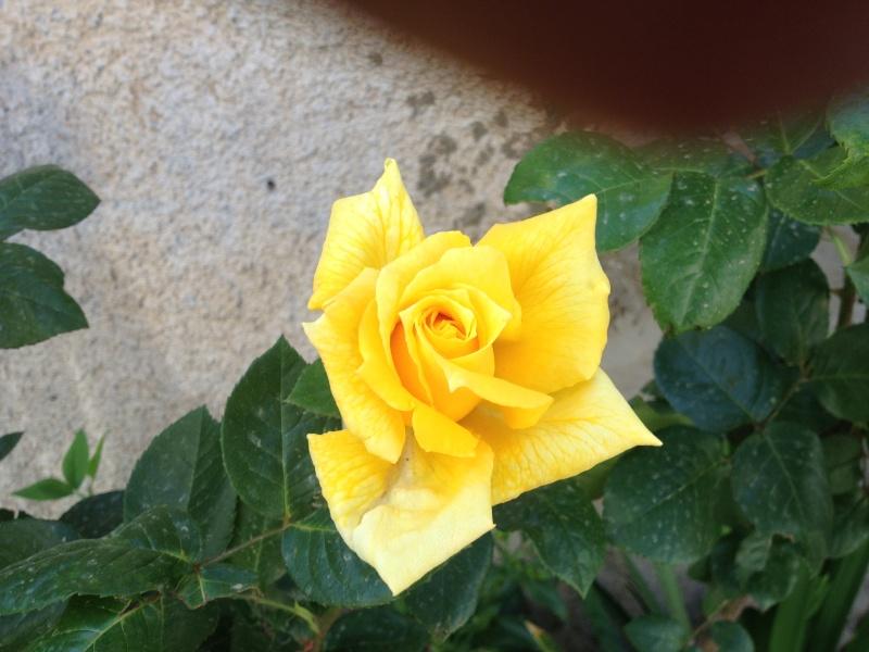 roses encore  Roses_11