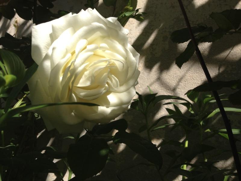 roses encore  Roses_12