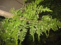 asparagus en fleurs Associ12