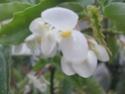 bego fleurs blanches  Bego_010