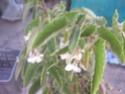 bego fleurs blanches  Boego_10