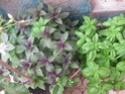 jardin en pot et a l ombre  Plante14
