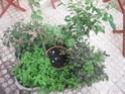 jardin en pot et a l ombre  Plante15