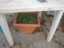 jardin en pot et a l ombre  Plante16