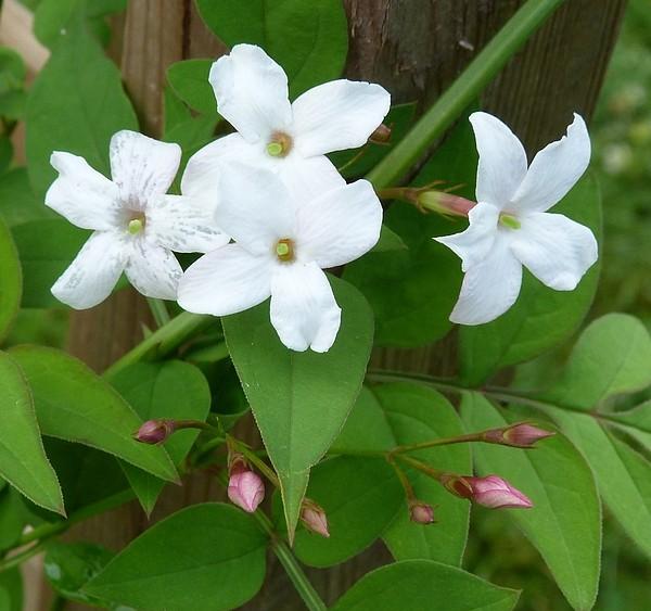 Jasminum officinalis - Jasmin P1050824