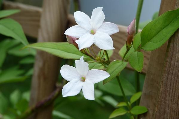 Jasminum officinalis - Jasmin P1050825