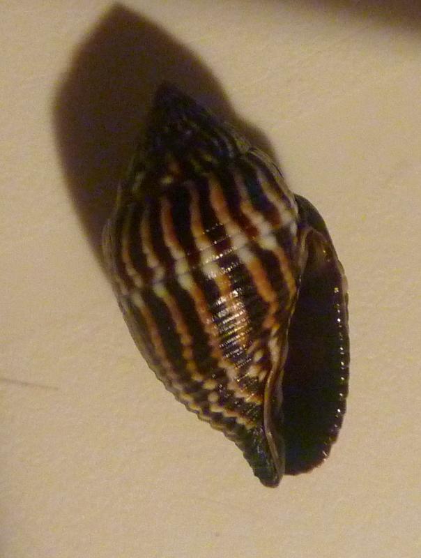 Strigatella retusa - (Lamarck, 1811)  P1040710