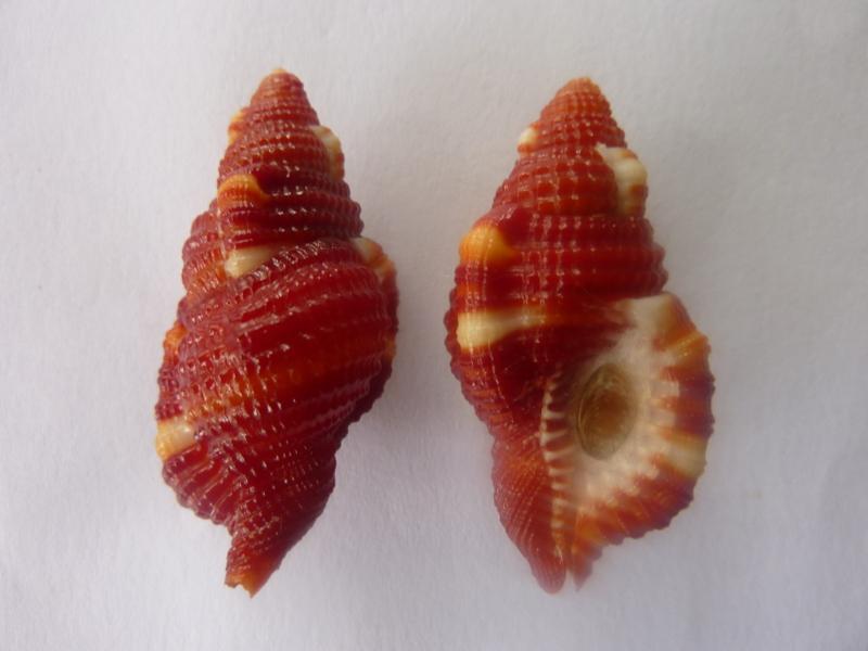 Septa rubecula - (Linnaeus, 1758) P1070320