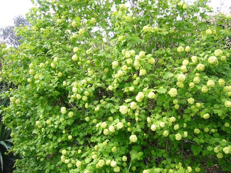Viburnum opulus, Viorne obier, Boule de neige Virbur10
