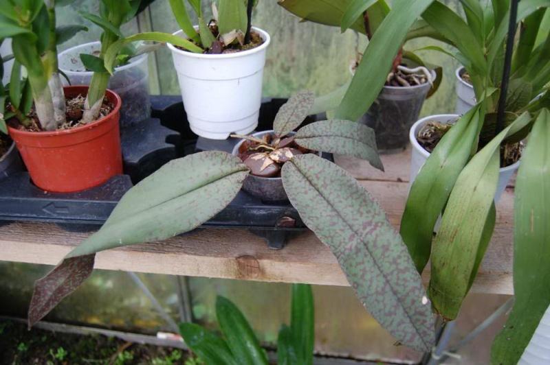 Quelques Orchidées ! Psycop10
