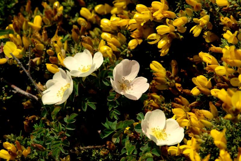 Fleurs de la côte 00610