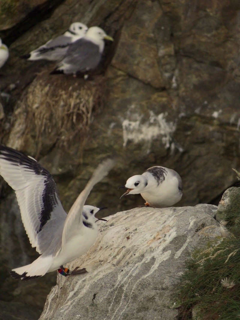 Mouettes tridactyles 05814