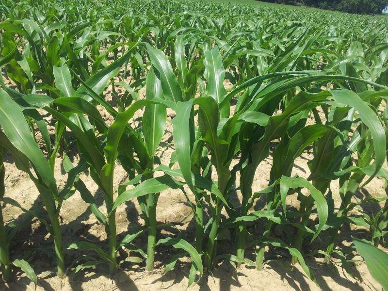 Essais dans le maïs ... 20120612