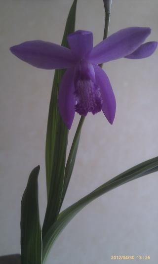 Bletilla striata - orchidée du Japon _12910