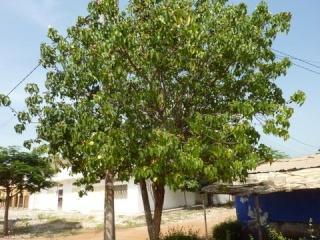 Arbre du Sénégal !!! P1030210