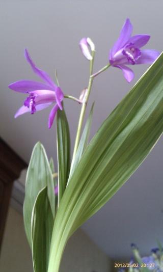 Bletilla striata - orchidée du Japon Zzz_0210